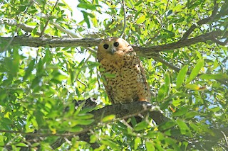 - Pel's Fishing-Owl