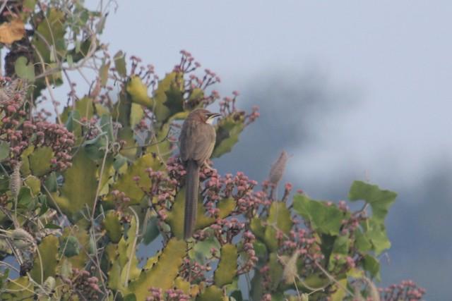 White-throated Babbler