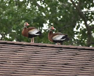 Black-bellied Whistling-Duck, ML61405051