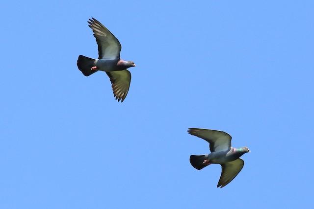 Rock Pigeon (Feral Pigeon)