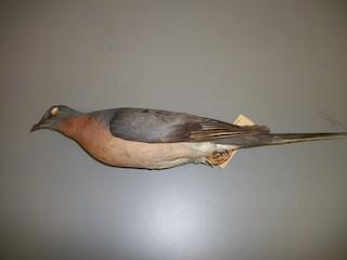 - Passenger Pigeon