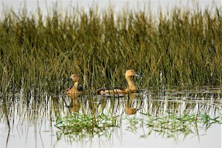 Lesser Whistling-Duck