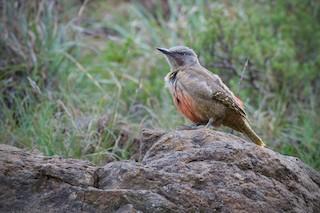 - Ground Woodpecker