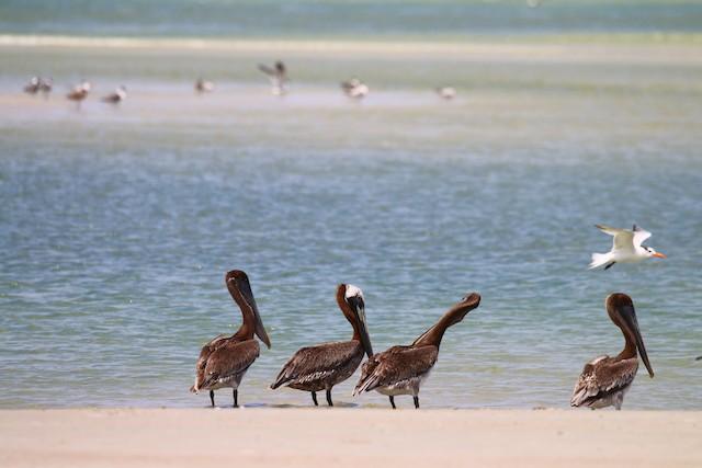 Brown Pelican (Atlantic)