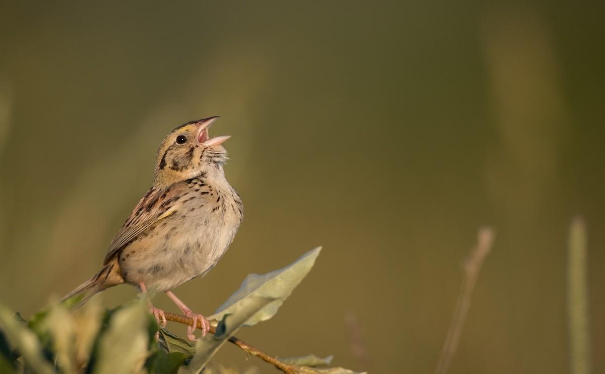 Henslow's Sparrow ML62039781