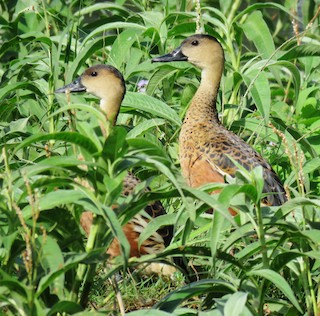 Wandering Whistling-Duck