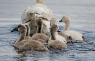 Mute Swan, ML62201411