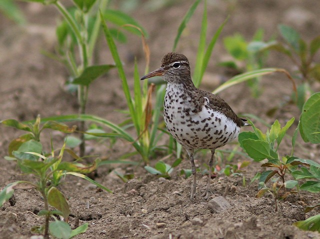 © Yves Gauthier (Mtl) - Spotted Sandpiper