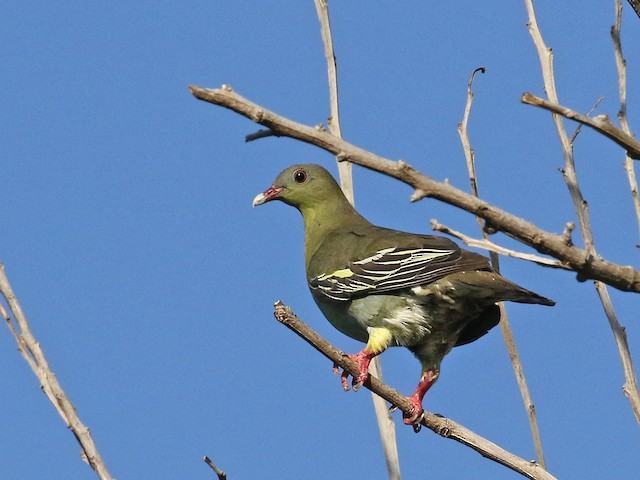 Cinnamon-headed Green-Pigeon
