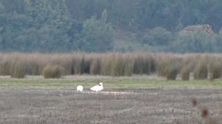 Coscoroba Swan, ML62278251