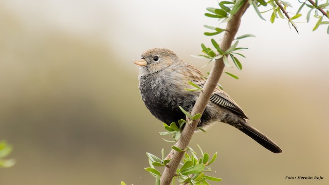 Carbonated Sierra-Finch