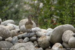 Mandarin Duck, ML62308801