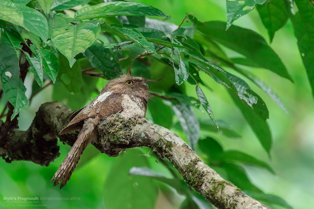 Blyth's Frogmouth (Indochinese)