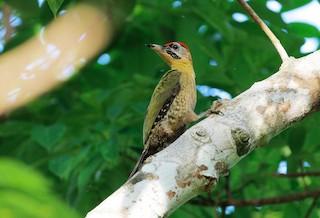 - Laced Woodpecker