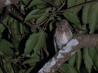 - Wallace's Scops-Owl