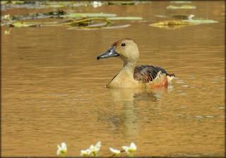 Lesser Whistling-Duck, ML62481161