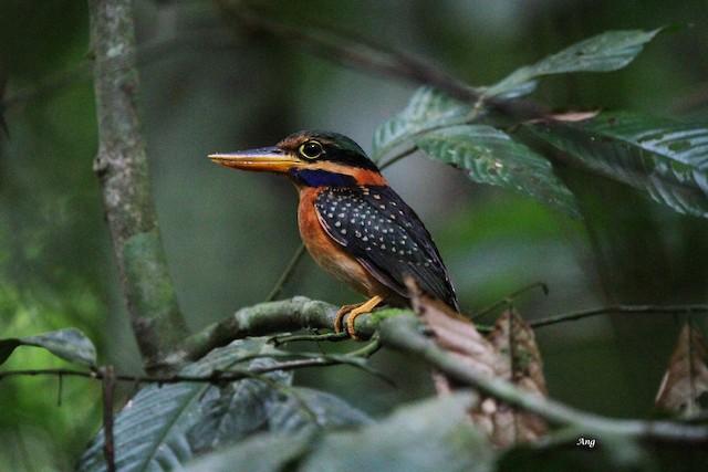 Rufous-collared Kingfisher