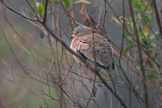 Croaking Ground Dove