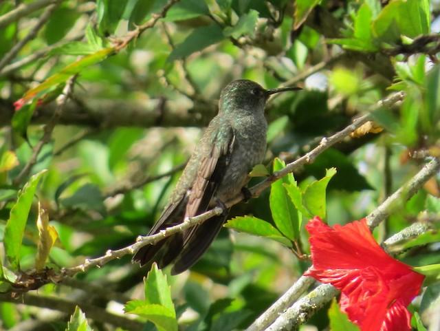 Sombre Hummingbird