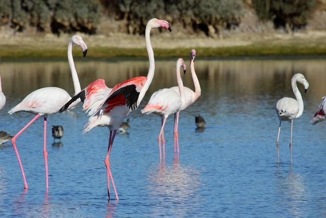 ©António Gonçalves - Greater Flamingo