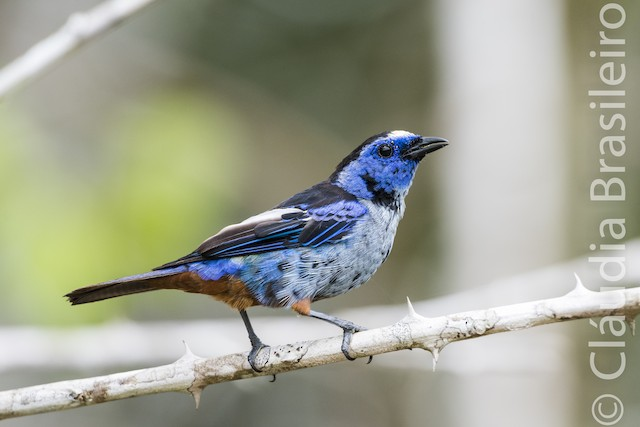 Opal-rumped Tanager (Silver-breasted)
