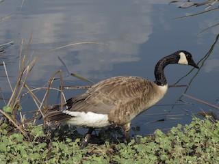 Canada Goose, ML62875411
