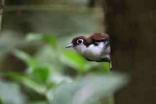 - White-cheeked Antbird