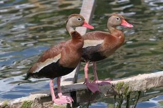 Black-bellied Whistling-Duck, ML62984181