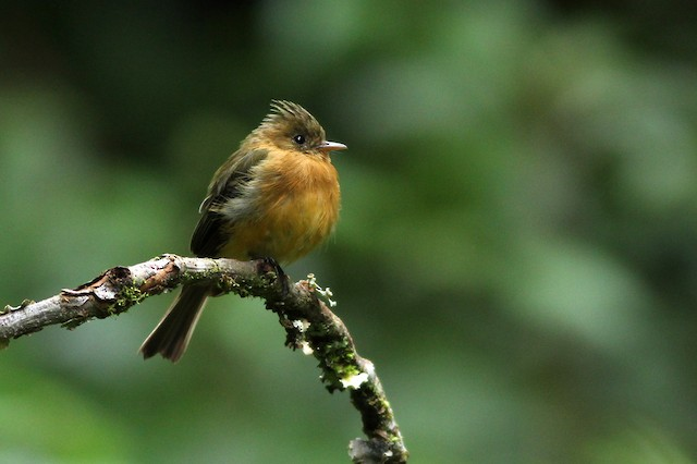 Tufted Flycatcher (Costa Rican)