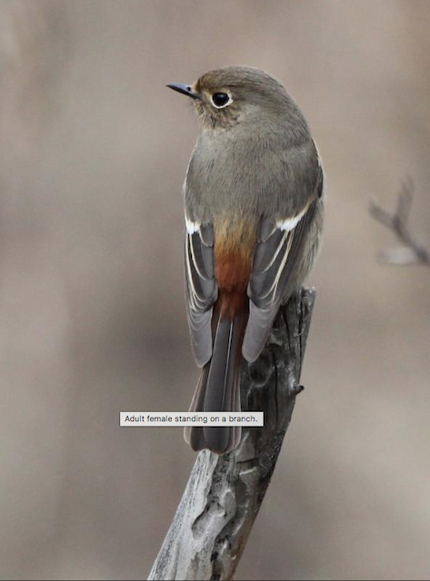 Blue-capped Redstart