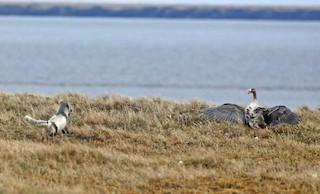 Greater White-fronted Goose (Eurasian), ML62994281
