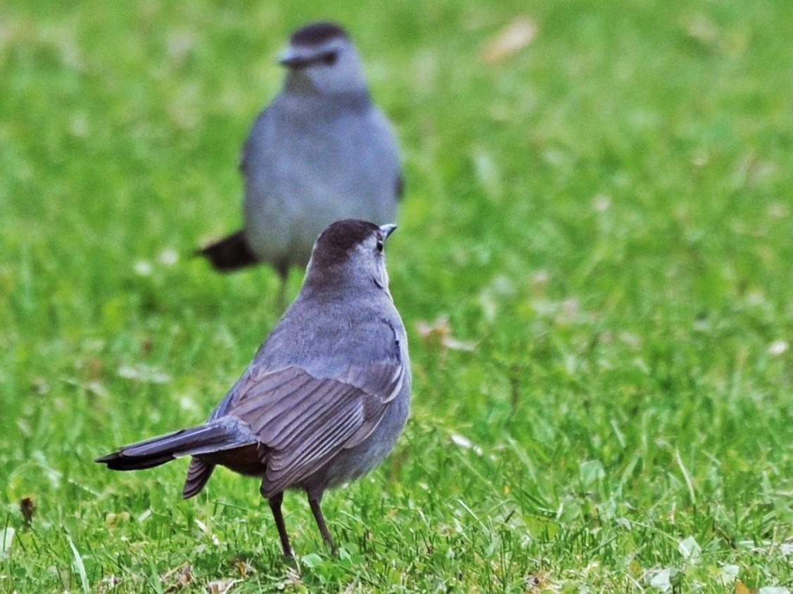 Gray Catbird - Rick Beaudon