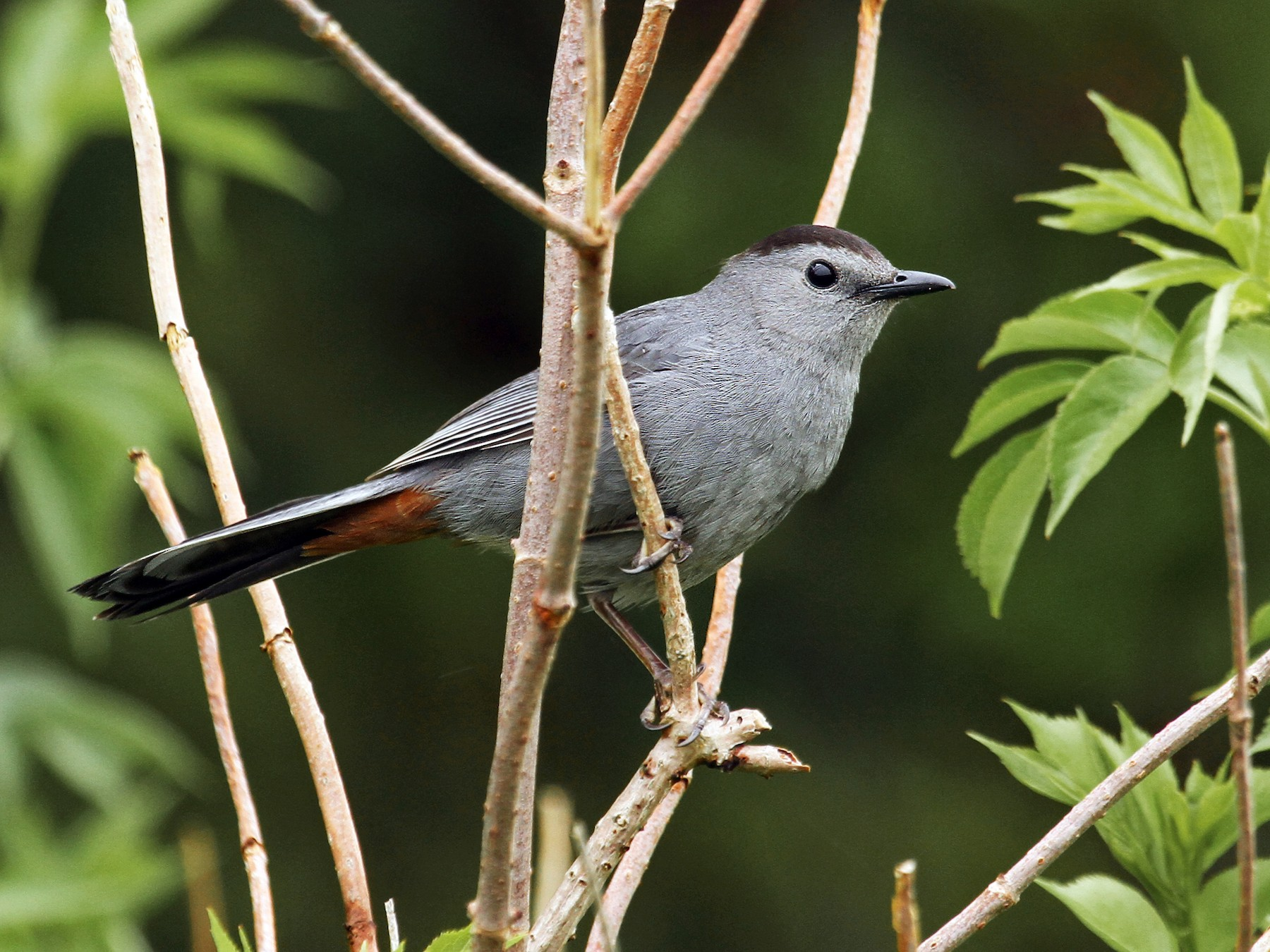 Gray Catbird - Ryan Schain
