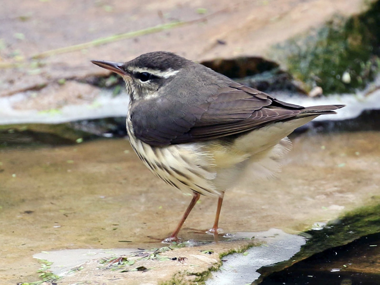 Louisiana Waterthrush - Susan Strasevicz