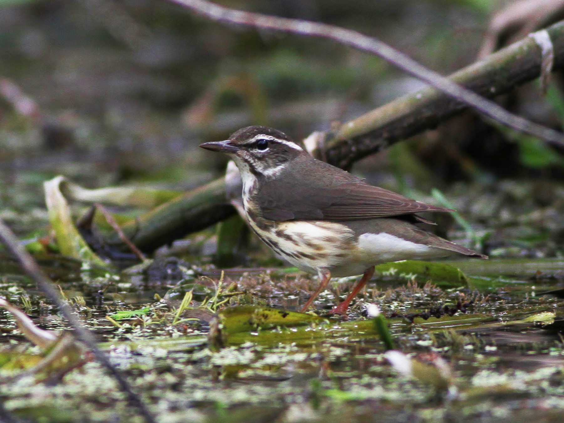 Louisiana Waterthrush - Alex Lamoreaux