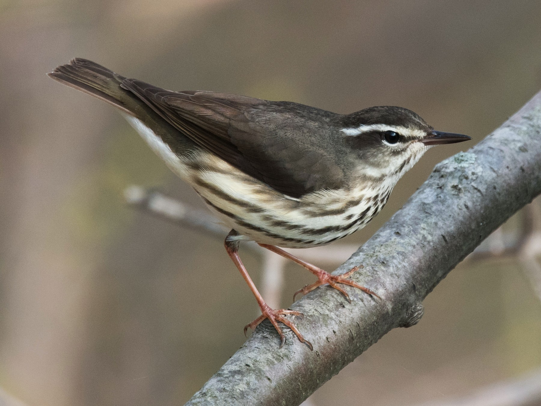 Louisiana Waterthrush - Derek Rogers