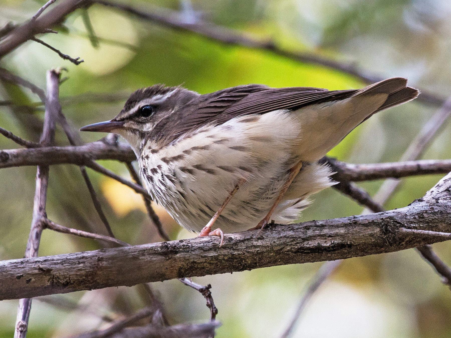 Louisiana Waterthrush - Jim Gain
