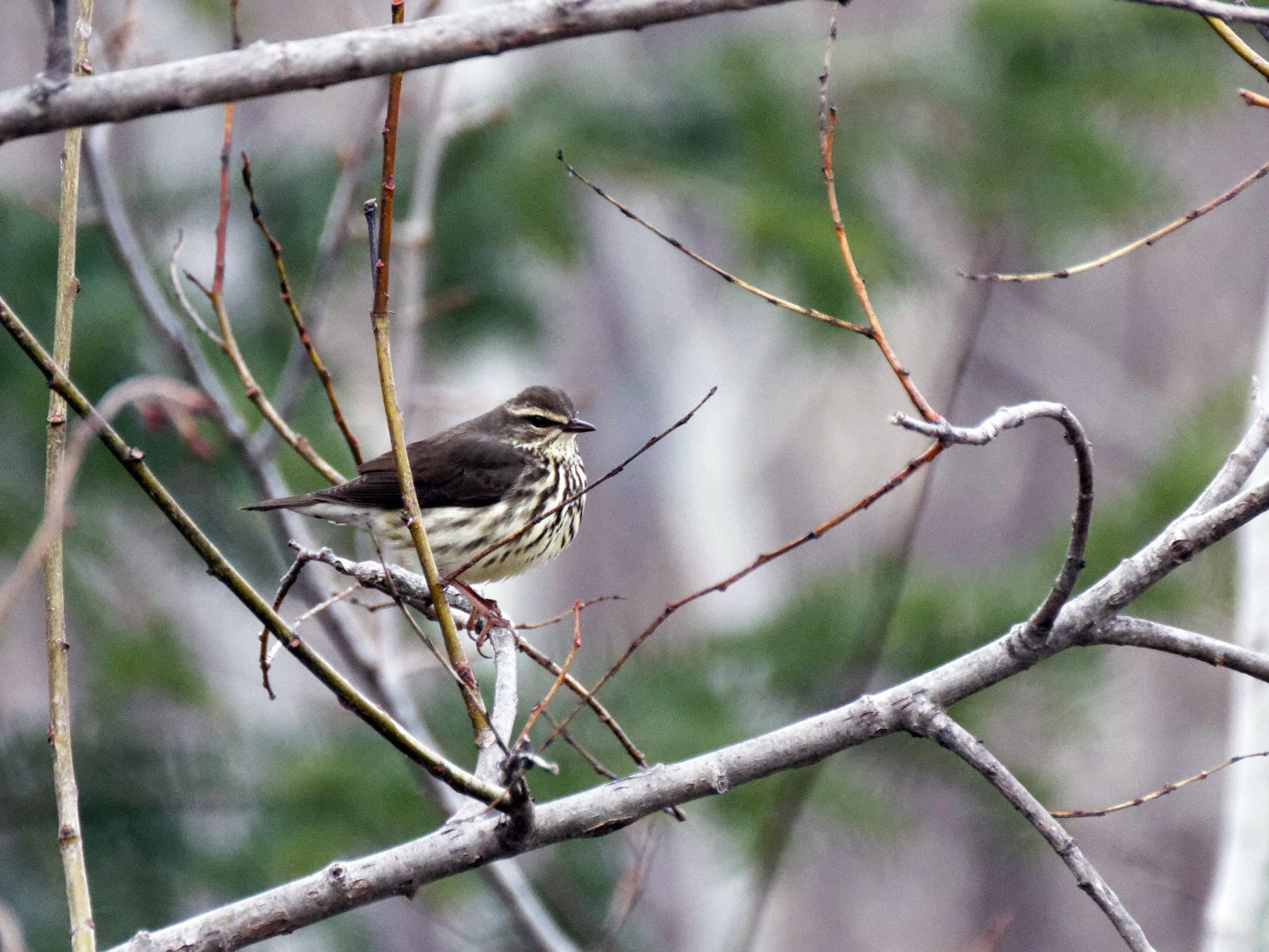 Northern Waterthrush - Jonathan Bonin Bourgault