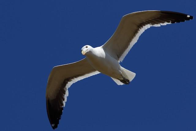 Kelp Gull (vetula)