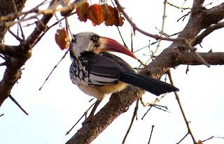 - Tanzanian Red-billed Hornbill