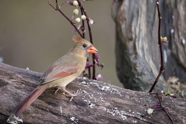 Female Northern Cardinal (presumed subspecies <em>floridanus</em>).