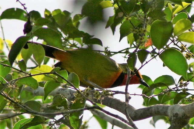 Four-colored Bushshrike