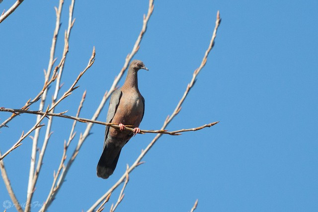 Chilean Pigeon