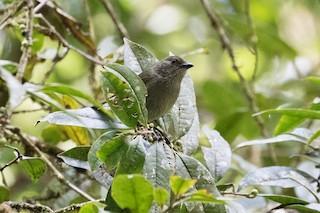 - Mid-mountain Berrypecker