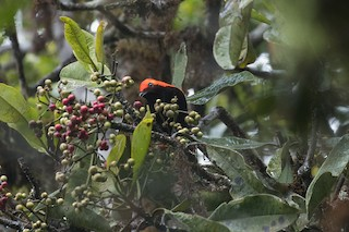- Crested Satinbird