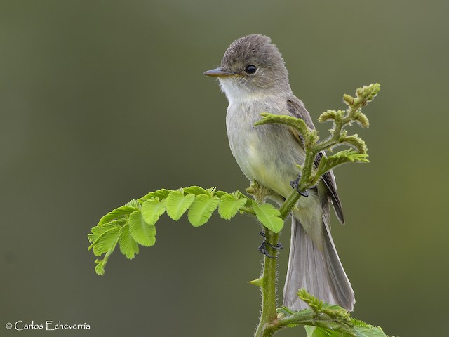 Adult White-throated Flycatcher.