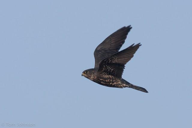Merlin (Black)