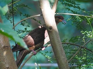 - Timor Cuckoo-Dove