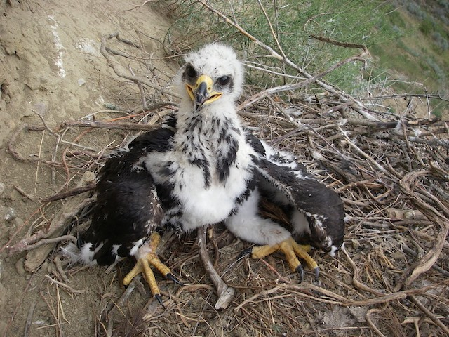 Nestling molting into Juvenile Plumage.