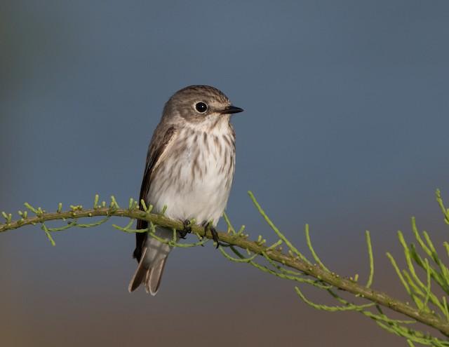 Gray-streaked Flycatcher